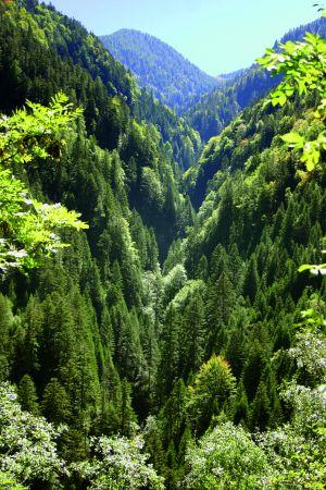 Abetine di abete bianco con presenza di faggio in una valle fresca e ombreggiata