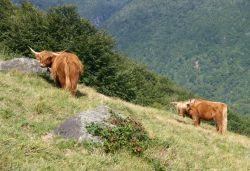 Vacca di razza Highland, caratterizzata dalle lunga corna e dal folto pelo rossiccio.